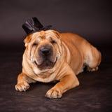 Σκυλί Sharpei που προσέχει stovepipe στοκ εικόνες
