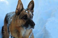 Σκυλί Sheffer Στοκ εικόνες με δικαίωμα ελεύθερης χρήσης