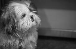Σκυλί - Shih Tzu Στοκ φωτογραφία με δικαίωμα ελεύθερης χρήσης