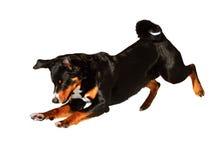 Σκυλί tricolor Appenzeller Sennenhund που απομονώνεται στο λευκό Στοκ Εικόνα