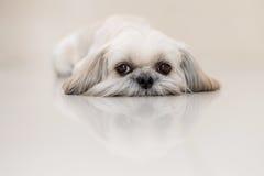 Σκυλί Tzu Shih το μικρό λιοντάρι στοκ εικόνα