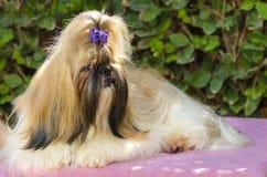Σκυλί Tzu Shih Στοκ εικόνες με δικαίωμα ελεύθερης χρήσης