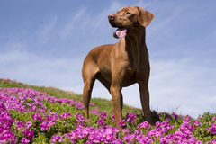 Σκυλί Vizsla στα rhodies Στοκ Φωτογραφία