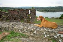 Σκυλί Vizsla στις μεσαιωνικές καταστροφές στον Παναμά Στοκ Εικόνα