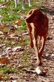 Σκυλί Vizsla Στοκ Εικόνες