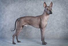 Σκυλί Xoloitzcuintle, δεκαοχτώ μηνών στοκ εικόνα με δικαίωμα ελεύθερης χρήσης