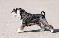 Σκυλί Zwergschnauzer Στοκ φωτογραφία με δικαίωμα ελεύθερης χρήσης