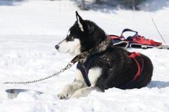 σκυλιά αθλητικά Στοκ εικόνα με δικαίωμα ελεύθερης χρήσης