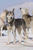 σκυλιά αθλητικά Στοκ φωτογραφία με δικαίωμα ελεύθερης χρήσης