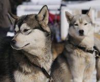 σκυλιά αθλητικά Στοκ Εικόνες