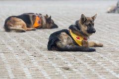 Σκυλιά αναζήτησης και διάσωσης Στοκ φωτογραφίες με δικαίωμα ελεύθερης χρήσης