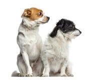 Σκυλιά αναμιγνύω-φυλής που κάθονται και που κοιτάζουν μακριά, που απομονώνονται στοκ φωτογραφία