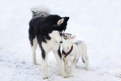 σκυλιά γεροδεμένα δύο Στοκ Εικόνες