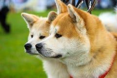 σκυλιά ευτυχή Στοκ Εικόνες