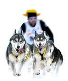 Σκυλιά ελκήθρων στον αγώνα ταχύτητας Στοκ Φωτογραφία