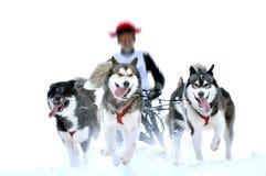 Σκυλιά ελκήθρων στον αγώνα ταχύτητας Στοκ Φωτογραφίες