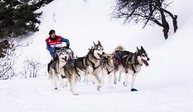Σκυλιά ελκήθρων στον αγώνα ταχύτητας Στοκ εικόνες με δικαίωμα ελεύθερης χρήσης