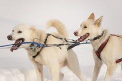 Σκυλιά ελκήθρων Στοκ εικόνες με δικαίωμα ελεύθερης χρήσης