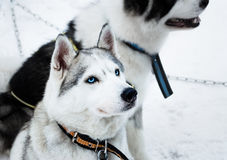 Σκυλιά ελκήθρων Στοκ Φωτογραφία
