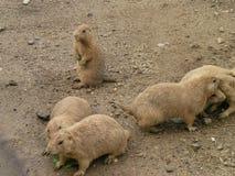 Σκυλιά λιβαδιών Στοκ Εικόνες