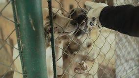 σκυλιά κουταβιών στο καταφύγιο πίσω από την αναμονή φρακτών που διασώζεται και που υιοθετείται στο νέο σπίτι Χαριτωμένο κουτάβι π φιλμ μικρού μήκους