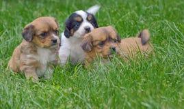Σκυλιά κουταβιών Pekingese Στοκ φωτογραφίες με δικαίωμα ελεύθερης χρήσης