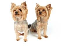 Σκυλιά με το κούρεμα Στοκ Φωτογραφία