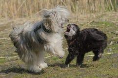 Σκυλιά παιχνιδιού στοκ εικόνες