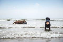 σκυλιά παραλιών που παίζουν δύο Στοκ εικόνα με δικαίωμα ελεύθερης χρήσης