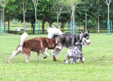 Σκυλιά που έχουν τη διασκέδαση στο πάρκο στοκ εικόνα με δικαίωμα ελεύθερης χρήσης