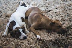 σκυλιά που κοιμούνται δύ& Στοκ Εικόνα