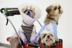 Σκυλιά που ντύνονται επάνω στον περιπατητή της Pet στοκ εικόνες με δικαίωμα ελεύθερης χρήσης