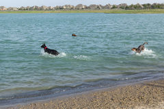 Σκυλιά που παίζουν και που προσκομίζουν στο νερό πέρα από την παραλία πάρκων σκυλιών Στοκ Εικόνες