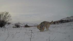 Σκυλιά που παίζουν το χειμώνα απόθεμα βίντεο