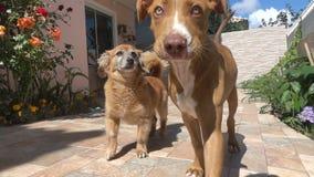 Σκυλιά που περπατούν στο σπίτι σε σε αργή κίνηση απόθεμα βίντεο