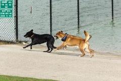 Σκυλιά που τρέχουν, παιχνίδι, που ξεραίνει τη γούνα τους σε ένα πάρκο σκυλιών Στοκ Φωτογραφία