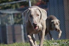Σκυλιά που τρέχουν στην περίφραξη Στοκ Εικόνες