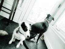 Σκυλιά που υπερασπίζονται έμμεσο Στοκ φωτογραφία με δικαίωμα ελεύθερης χρήσης