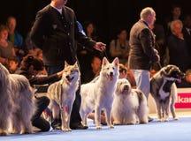 Σκυλιά στο δαχτυλίδι επίδειξης Στοκ εικόνα με δικαίωμα ελεύθερης χρήσης