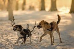 Σκυλιά στο παιχνίδι στο χιόνι Στοκ Εικόνα