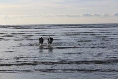 Σκυλιά στο παιχνίδι Στοκ εικόνες με δικαίωμα ελεύθερης χρήσης
