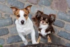 Σκυλιά τεριέ και chihuahua του Jack Russell που θέτουν από κοινού Στοκ Εικόνες