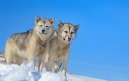 Σκυλιά της Γροιλανδίας στοκ φωτογραφίες με δικαίωμα ελεύθερης χρήσης