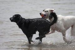 Σκυλιά του TW που παίζουν στο νερό στοκ εικόνες με δικαίωμα ελεύθερης χρήσης