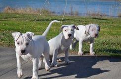 σκυλιά τρία λευκό Στοκ εικόνα με δικαίωμα ελεύθερης χρήσης