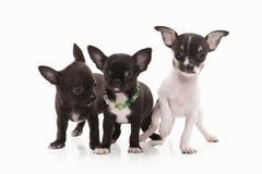 σκυλιά Τρία κουτάβια Chihuahua στο λευκό Στοκ εικόνες με δικαίωμα ελεύθερης χρήσης