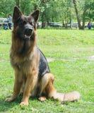 Σκυλιά των διάφορων φυλών Στοκ Φωτογραφία