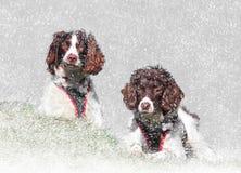Σκυλιά χειμερινού χιονιού στοκ εικόνα
