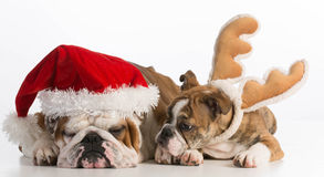 Σκυλιά Χριστουγέννων στοκ εικόνες με δικαίωμα ελεύθερης χρήσης