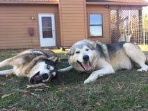 Σκυλιά λύκων στο παιχνίδι στοκ φωτογραφίες